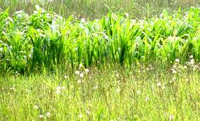 Priset på majs faller och drar etanolpriset med sig