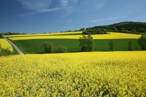 Jordbruk - Raps en gyllene råvara