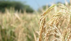 Ris i Kina