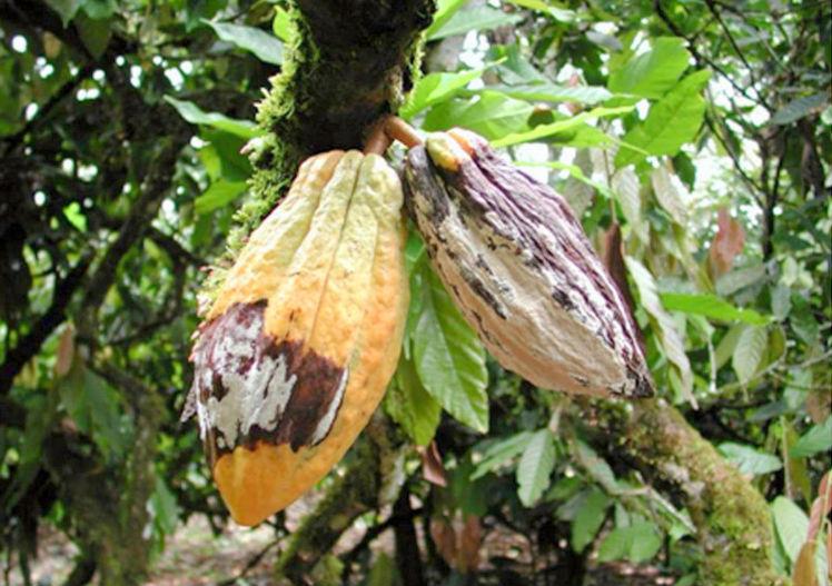 Sjukdomsdrabbad kakao