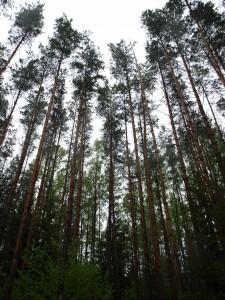 Skog i Lettland som tillhör Latvian Forest