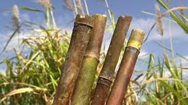 Sockerrör på fält