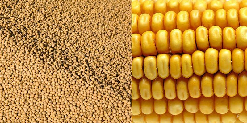 Sojabönor och majs