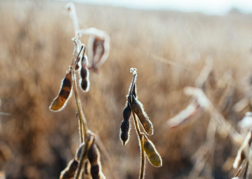 Sojabönor i sol