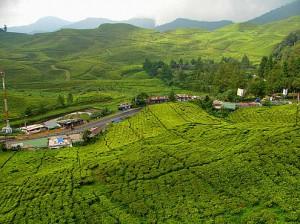Te-odling i Kenya - Stor producent av svart te i Afrika