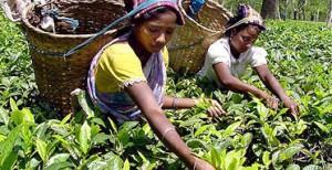 Underskott av produktion i Indien ger högre pris på te