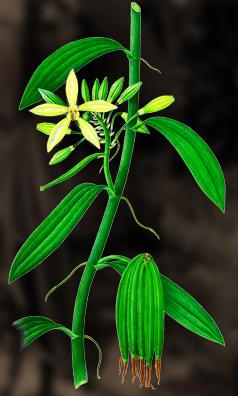 Vanilj (krydda) - Vanilla Planifolia