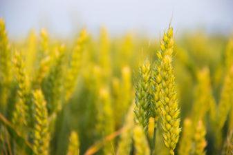 Överutbud av vete kan leda till prisfall