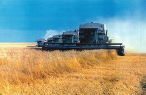 Vete odlas och skördas i USA