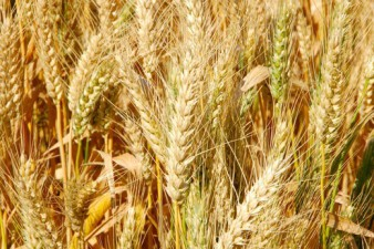 Sällsynta veteförsäljningar till Asien minskar rädslan för överutbud